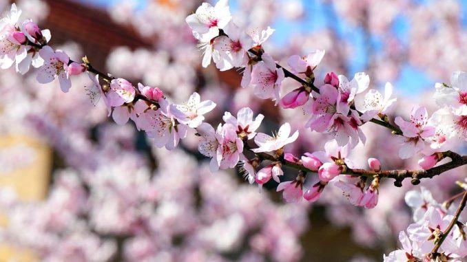 Mandelblüte auf Madeira