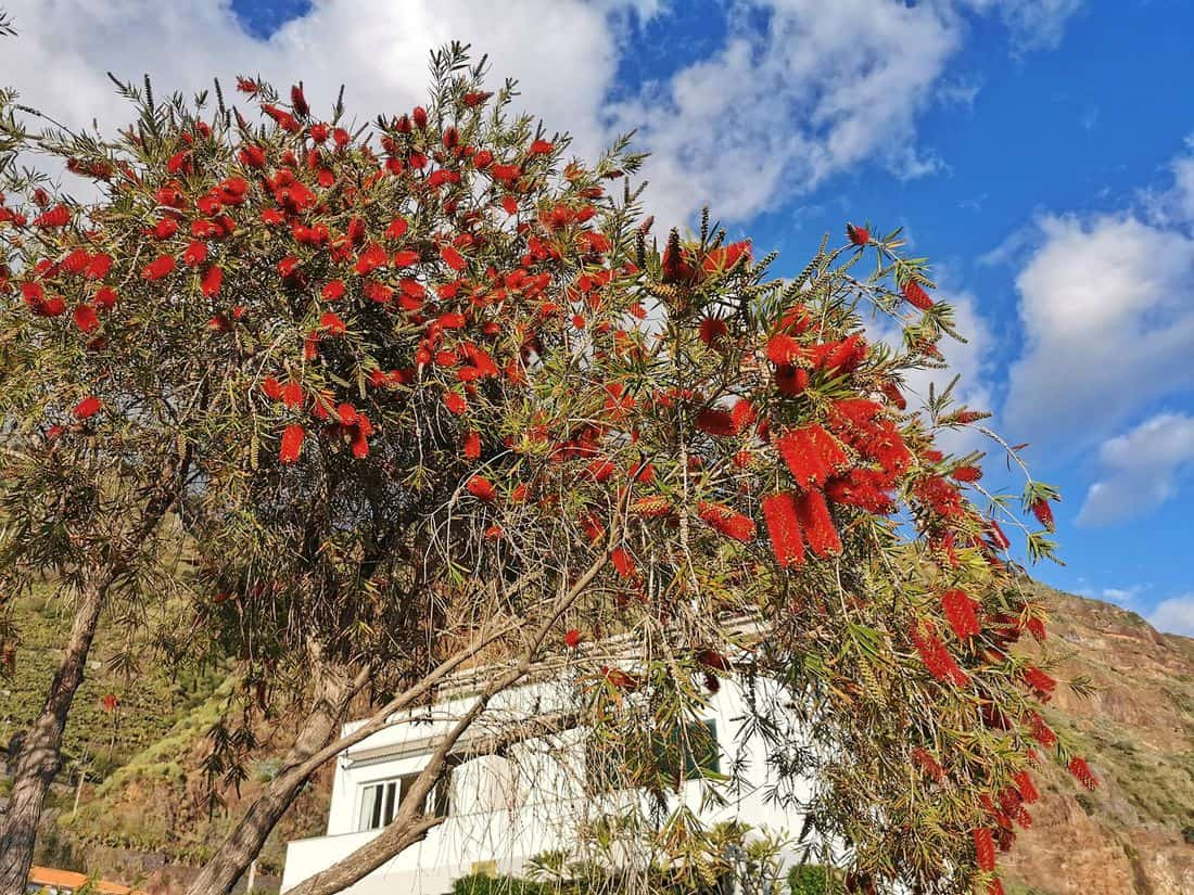 Baum mit roten Blüten
